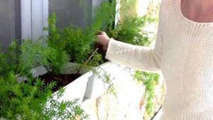 выращивание укропа и петрушки на подоконнике